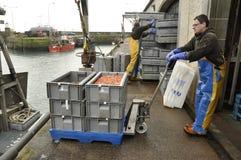 Entleerung des Fanges Pittenweem Schottland Großbritannien Lizenzfreies Stockfoto