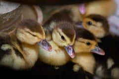 Entlein einer moschusartigen Ente im Schutz lizenzfreie stockfotos