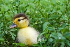 Entlein einer moschusartigen Ente, Indo-Ente auf Weg in einem Gras Stockfoto