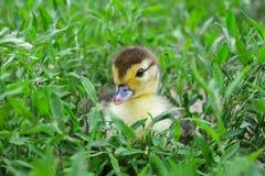 Entlein einer moschusartigen Ente, Indo-Ente auf Weg in einem Gras Stockfotografie