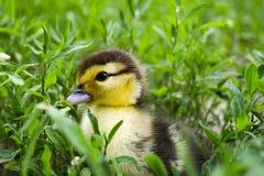 Entlein einer moschusartigen Ente, Indo-Ente auf Weg in einem Gras Stockbilder