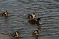 Entleinschwimmen entlang dem Ufer Lizenzfreies Stockfoto