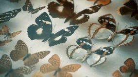 Entomological συλλογή, πεταλούδες κάτω από το γυαλί φιλμ μικρού μήκους
