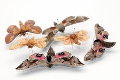 Entomological collection of butterflies. Containing Oak Hawk-moth (Marumba quercus), Eyed hawk-moth and Oak Eggar (Lasiocampa quercus Royalty Free Stock Photography