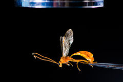 Entomological equipment with wasp. A microscope and forceps used during examination of Ophion luteus, an Ichneumon wasp Royalty Free Stock Photography