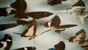 Entomologische inzameling, vlinders onder glas stock videobeelden