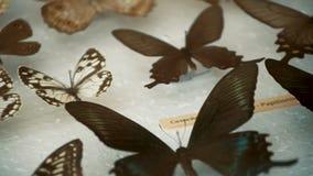 Entomologische inzameling, vlinders onder glas stock video