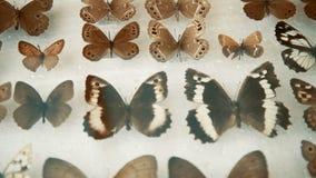 Entomologische inzameling, vlinders onder glas stock footage