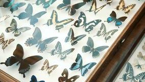 Entomologisk samling, fjärilar under exponeringsglas arkivfilmer