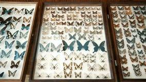 Entomologisk samling, fjärilar under exponeringsglas lager videofilmer