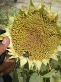 Sun flower. Entomology plant pathology Stock Images