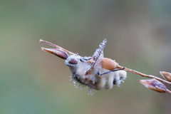 Entomophthora muscae Obraz Royalty Free