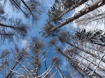 Entouré par des pins, tir d'angle faible Image libre de droits