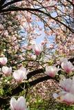 Entouré par la fleur de magnolia Photo libre de droits