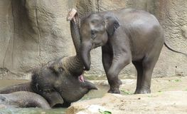 Entraînement de bain d'éléphant ! Image stock