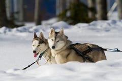 Entraînement des chiens enroués dans la neige Photos stock