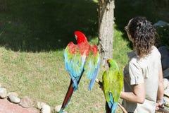 Entraîneur de femme tenant des perroquets d'ara Exposition de perroquets photographie stock