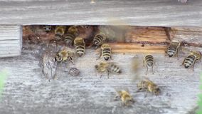 A entrada à colmeia de madeira da abelha, pólen da abelha, plantas de mel traz filme