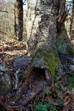 Entrada da árvore oca através da raiz fotografia de stock