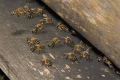 Entrada da colmeia da abelha Fotos de Stock