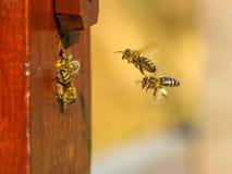 Entrada de la colonia de la abeja Foto de archivo libre de regalías