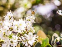 entrada Desnudo-ensillada de los similis de Bee Colletes de Colletes o del yesero Imagen de archivo