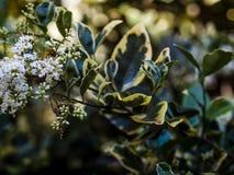 entrada Desnudo-ensillada de los similis de Bee Colletes de Colletes o del yesero Fotografía de archivo libre de regalías