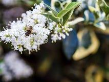 entrada Desnudo-ensillada de los similis de Bee Colletes de Colletes o del yesero Imagen de archivo libre de regalías