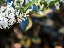 entrada Desnudo-ensillada de los similis de Bee Colletes de Colletes o del yesero Imagenes de archivo