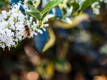 entrada Desnudo-ensillada de los similis de Bee Colletes de Colletes o del yesero Fotos de archivo