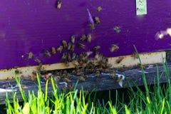 Entrada púrpura de una colmena con las abejas Imagenes de archivo