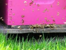 Entrada rosada de una colmena con las abejas Fotos de archivo