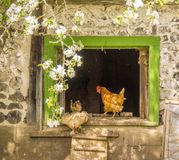 The entrance of the hens. Quebec, Canada, May 2017. Photo taken in the spring at a farmer`s house with old barn royalty free stock photo