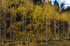 Entrance to an Aspen Forest Changing in Fall Royalty Free Stock Image