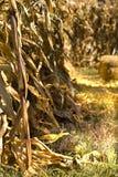 Entrance to Corn Maze Royalty Free Stock Photo