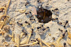Entrance to the nest of ants Royalty Free Stock Image