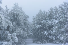 Entrance to the snowy forest pine thicket. Russia, Stary Krym. Royalty Free Stock Photos