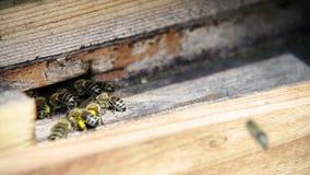 Entrata dell'alveare Le api escono dentro e Coppie delle api che arieggiano costantemente alveare dalle ali archivi video