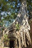 Entrata di bordi delle radici del tempio in Angkor Wat Temple immagine stock libera da diritti
