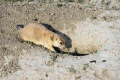Entrata domestica sotterranea della sentinella del supporto della marmotta Immagini Stock Libere da Diritti