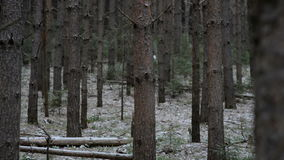 Entre árvores velhas na noite do inverno do tovercast vídeos de arquivo