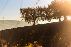 Entre Apulia y Basilicata Otoño rural del paisaje: paisaje montañoso con la arboleda verde oliva Italia Foto de archivo