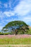Entre as árvores do cosmos do campo com céu azul Foto de Stock Royalty Free