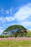 Entre as árvores do cosmos do campo com céu azul Fotos de Stock