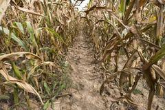 Entre filas del campo de granja del maíz Fotos de archivo libres de regalías