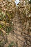 Entre fileiras do campo de exploração agrícola do milho Fotografia de Stock Royalty Free