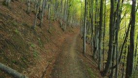 Entre a fuga Autumn Deciduous Forest Beech Alley vídeos de arquivo