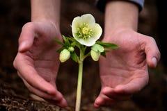 Entre las dos manos de flores Foto de archivo libre de regalías