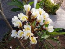 Entre les feuilles vertes d'un ensemble de beaux bourgeon floraux blancs Image libre de droits
