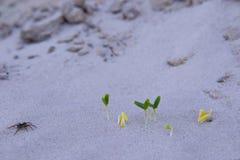 Entre los desiertos en la sequía, los gérmenes de la plántula brotan en la arena Imagenes de archivo